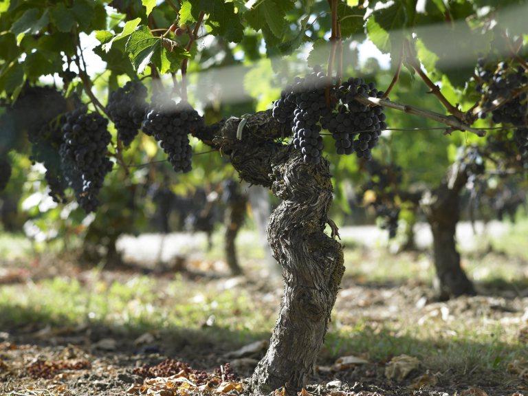 Merlot Grapes - massimilano fadin