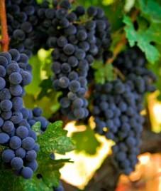 Giordano Vini eccitato come Italia sostituisce la Franciacome il più grande produttore di vino quest'anno